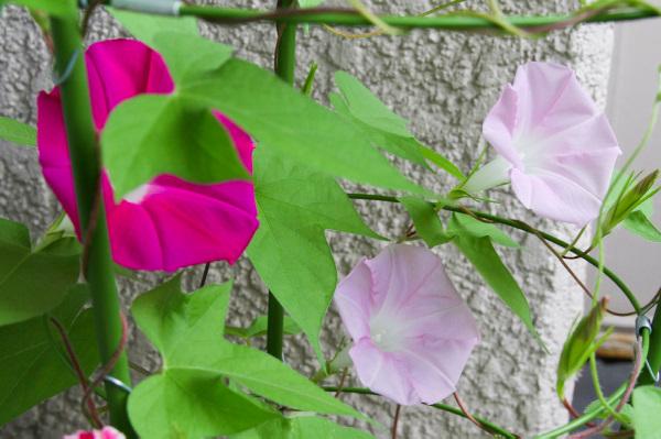 色違いの朝顔の花が一緒に咲いている様子。